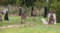 mob of Kangaroos video