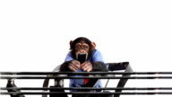 Mobile Phone Chimp video