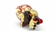 Model of artificial human heart 3d rendering video