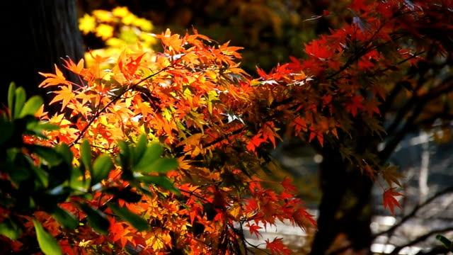 Momiji - Autumn Colors in Japan video