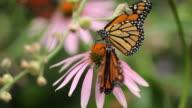 Monarch Butterflies on Echinacea Flowers, rack focus video