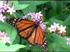 Monarch Butterfly 2 NTSC video