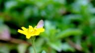 Monarch Butterfly feeding on flower - Stock Video video