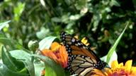 Monarch butterfly feeding on orange flower video