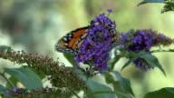 Monarch butterfly feeding on purple flower video
