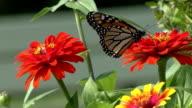 Monarch butterfly feeding on red flower video