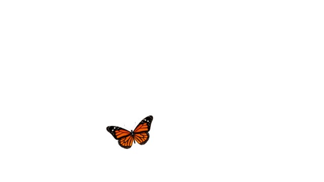 Monarch butterfly is landing and takeoff video