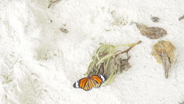 Monarch butterfly on sandy beach video