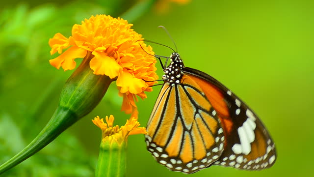 Monarch Butterfly on yellow Flower video