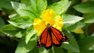 Monarch Butterfly Pollinates Flower Then Takes Flight, Close-up HD video
