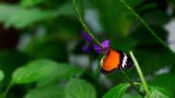 Monarch Butterfly Slow motion 240fps video