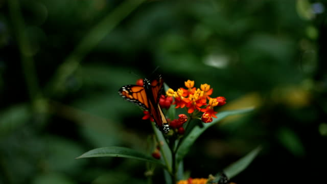 Monarch Butterfly, slow motion video