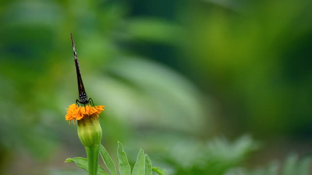 Monarch Butterfly video