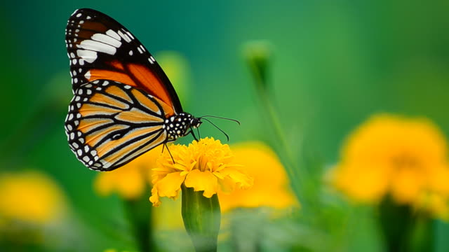 Monarch Butterfly video
