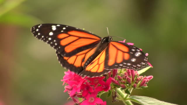 Monarch Butterfly (Danaus plexippus) video
