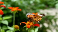 Monarch butterfly with Zinnia flower video
