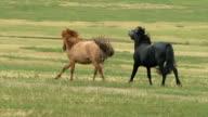Mongolian Horses video