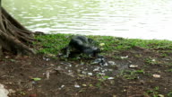 monitor lizard eating pigeon video