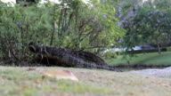 Monitor Lizard Emerges From A Bush video