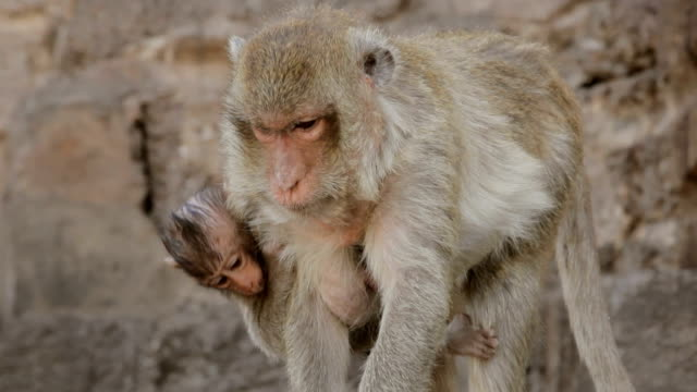 Monkey and son walk on the temple video