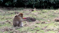 Monkey Eating Apple Fruit - Barbary Macaques of Algeria & Morocco video