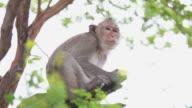 Monkey eating bananas video