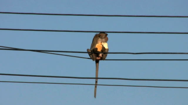 Monkey Eating Bread On A Power Line video