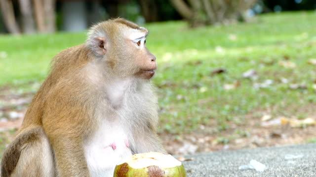 monkey eating coconut i video