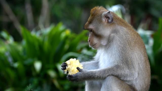 Monkey Eating Corn video