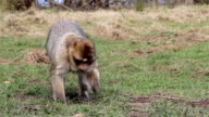 Monkey Eating from Ground & Walking - Barbary Macaques of Algeria & Morocco video
