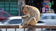 monkey eating fruit in the city, Lopburi, Thailand video