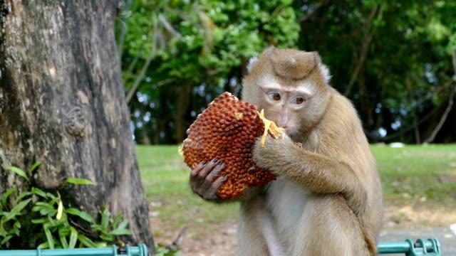 monkey eating jackfruit video
