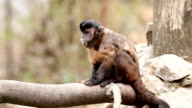Monkey  eating on the tree. video