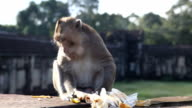 Monkey eating some food from tourist video