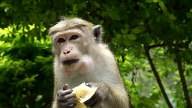 Monkey eating the banana video