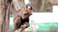 Monkey eating. video