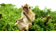 Monkey eats banana video