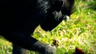 Monkey Finding Food To Eat In The Grass video