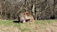Monkey grooming another on a grassy bank - Barbary Macaques of Algeria & Morocco video