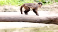 Monkey hanging over water, climbing by tree. video