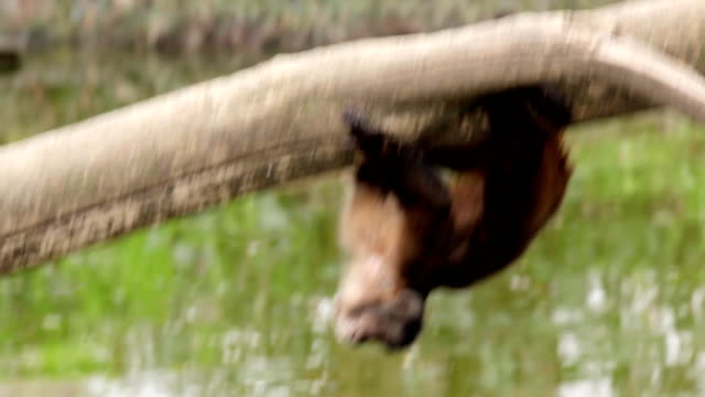 Monkey hanging over water. video