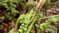 Monkey ladder liana (Bauhinia sp.) video