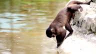 Monkey looking for food on te water. video