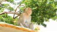 monkey, Macaca nemestrina,Cercopithecidae video