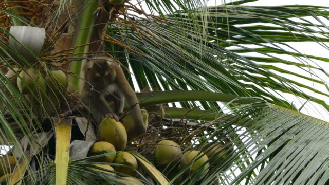 Monkey Macaque video