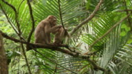 Monkey mother cleans her cub. video