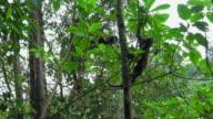 Monkey on tree, Costa Rica video