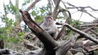Monkey on tree look out view - Barbary Macaques of Algeria & Morocco video