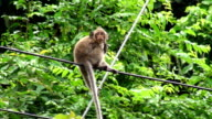 Monkey On Wires 04 video