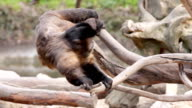 Monkey swinging on the tree. video